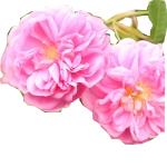 róża z tajf.jpg